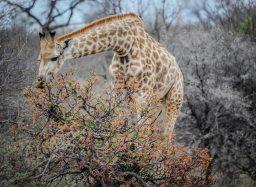 africa-animal-giraffe-16048
