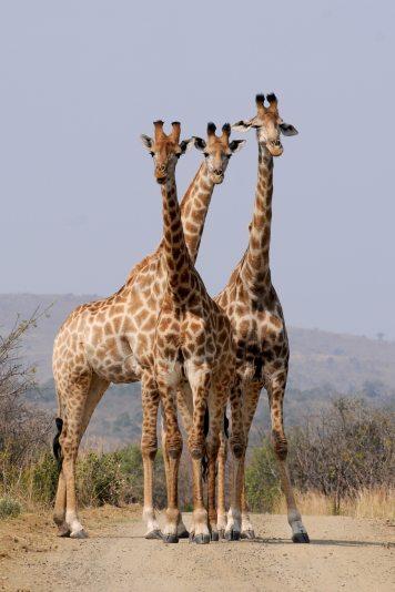 africa-animals-giraffes-34098