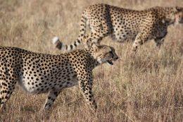 animal-animal-photography-big-cat-67553