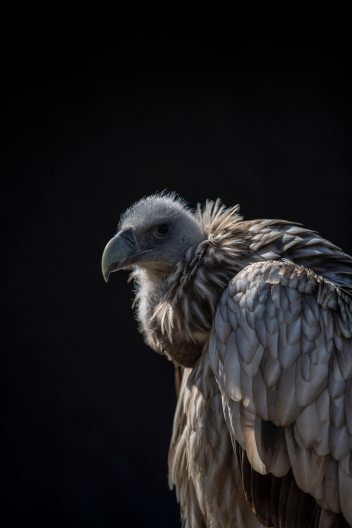 animal-avian-bald-1025586