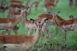 animals-antelope-blur-631228