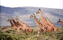 animals-giraffes-wildlife-38534