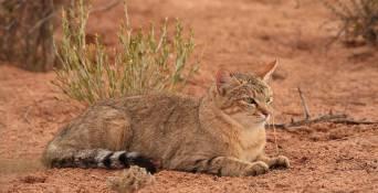 000-african-wildcat