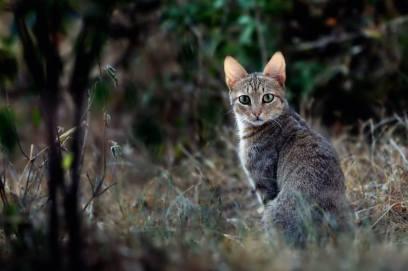 african-wildcat-2.jpg.824x0_q71