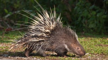 animals_hero_porcupine