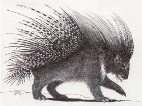 blogs320x240_wildlife-wednesday-porcupine