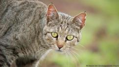 African wildcat in Amboseli National Park