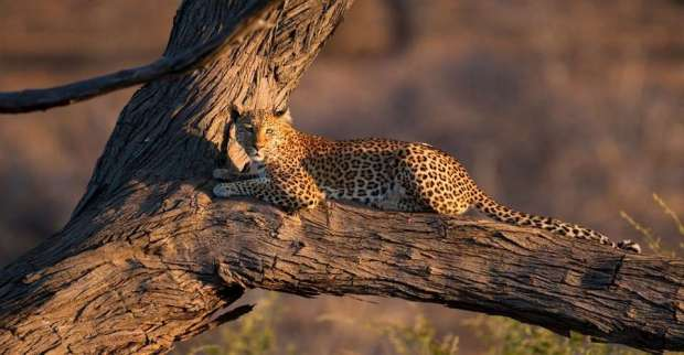 Chobe-Game-Lodge-Leopard-1