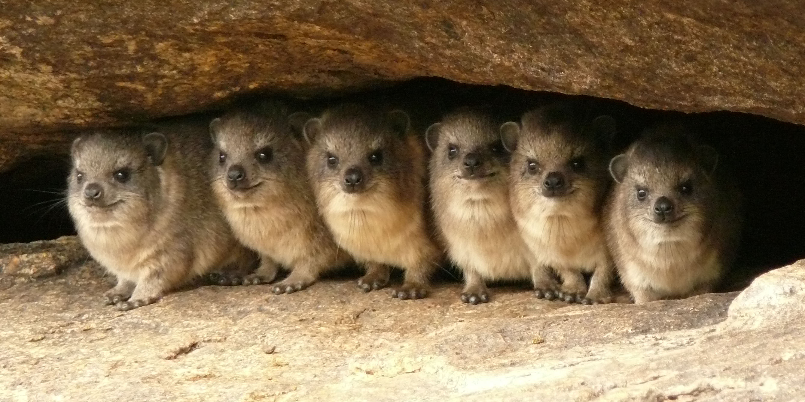 ROCK DASSIE OR HYRAX – Personal Collection by Ta