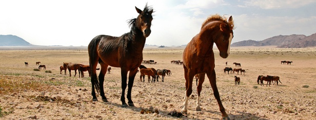 Wild-Horses-of-the-Namib01