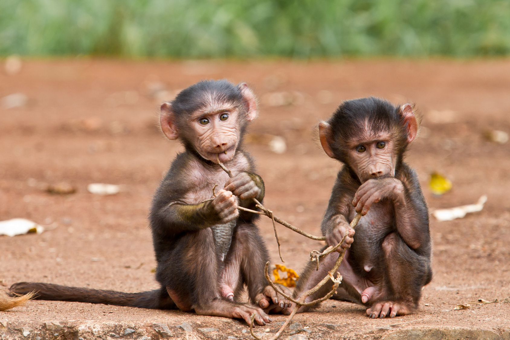 Two Baby Baboons playing with a small branch at the gate of  Ngorongoro Crater National Park in Tanzania