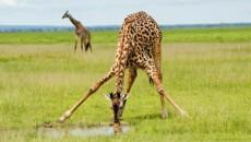 az_giraffe1-wpcf_520x294