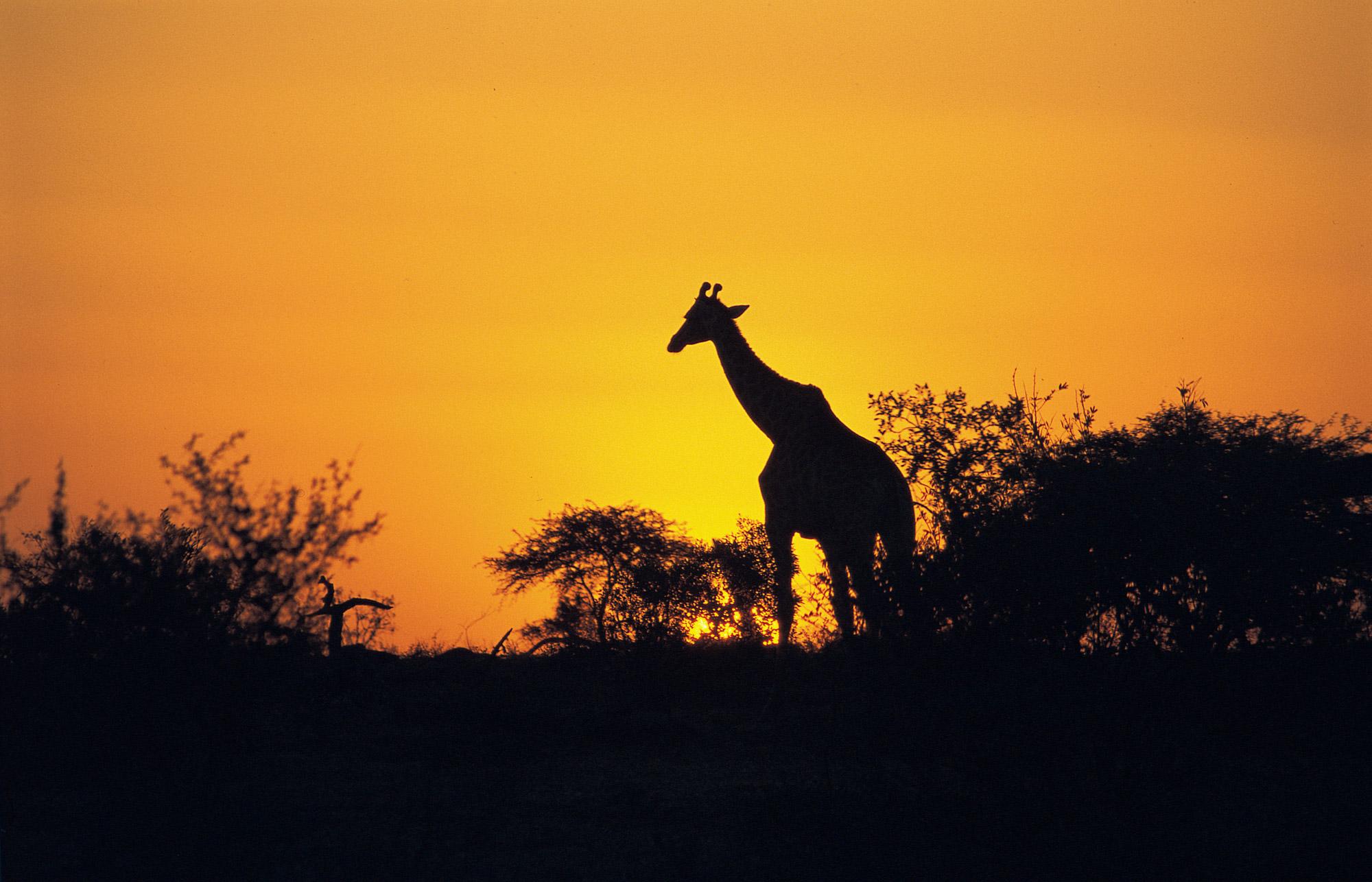 giraffe-hires