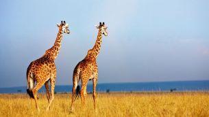 giraffes-wild-two.jpg.838x0_q80