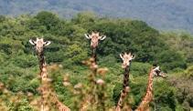Giraffes_BrettHartl_CenterForBiologicalDiversity
