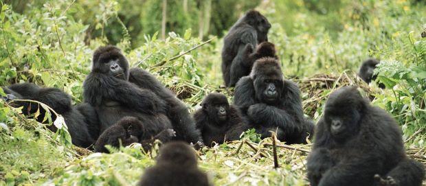 gorilla-trekking-in-rwanda-tour-trip-1
