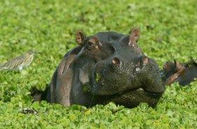 hippo-amongst-river-vegetation-bloomhill-590x390
