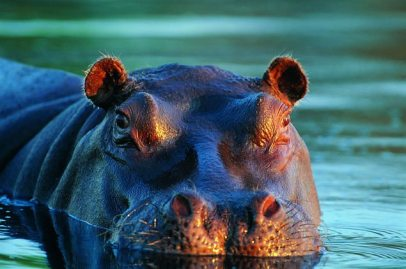 hippo-facts