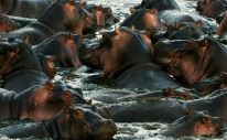 The herd of hippopotamuses bathes. The big herd of hippopotamuses bathes in a close pond with rocky coast in the evening.