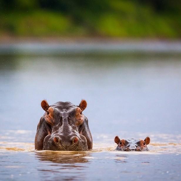 hippos (1)