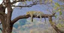 Leopard-1-640x336