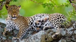 leopard-in-tree-serengeti-normal