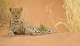 leopard-kgalagadi