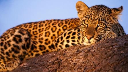 leopard-normal