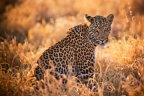 leopard-Savute-Elephant-Camp-Chobe-National-Park-Botswana-safari_(21)