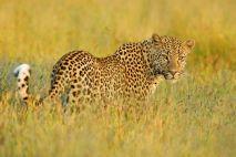 leopard stalking prey leopard in the african savannah animals of kenya dangerous animals of africa wildlife beautiful amazing animal picture