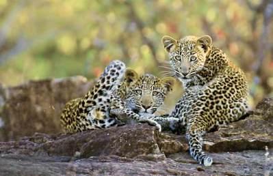 Leopard_cubs_Kruger-Park-edit