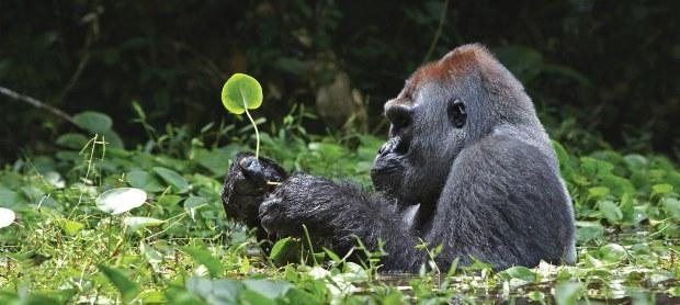 majestic-mountain-gorillas-header