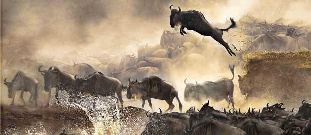 wildebeests-migration-safari