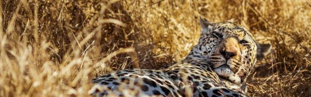 600027_Leopard South Africa