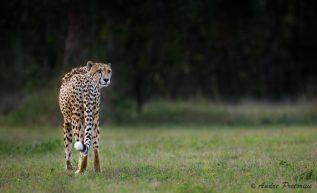 Cheetah_adult-1036x634