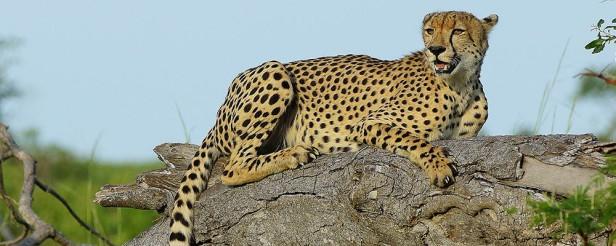 Cheetahonlog