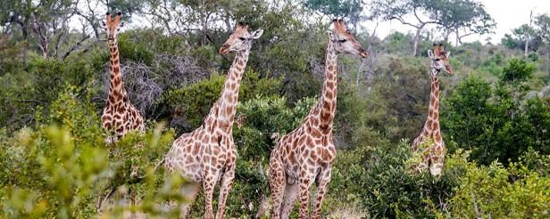 Giraffeinagroup