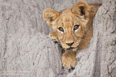 GrantAtkinson-Mombo-Lion-Cub-On-Mound_9324odp