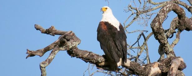 Image065-Fish-eagle