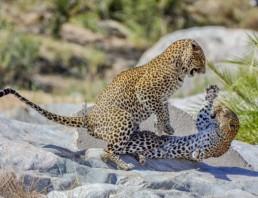 Leopards-Bernhard-Bekker-Private-Kruger-Safaris-25-520x400