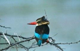 Kwandwe-brown-hooded-kingfisher