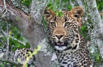Kwandwe-leopard