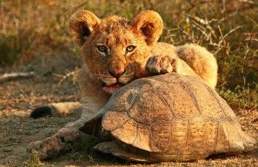 Kwandwe-tortoise