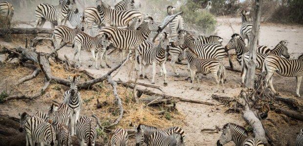 makgadikgadi-pans-okavango-delta-botswana-safari-zebra__landing_large