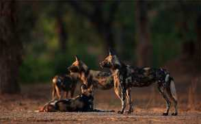 africa_zimbabwe_mana_pools_wild_dogs_elephants_bret_charman_thumbnail2