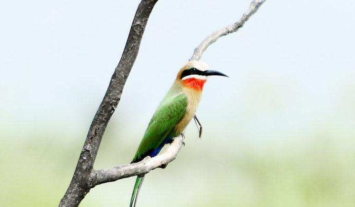 white-fronted-bee-eaterbirdlinyanti-bush-camp-botswana-african-bush-camps-27-720x420